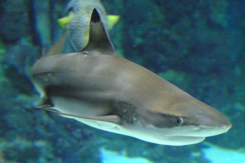 aquarium-barcelona-tiburon